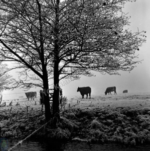 Leathley, Cattle
